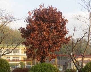 かしわの木.jpg